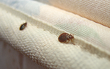 Bed Bug Steam Treatment